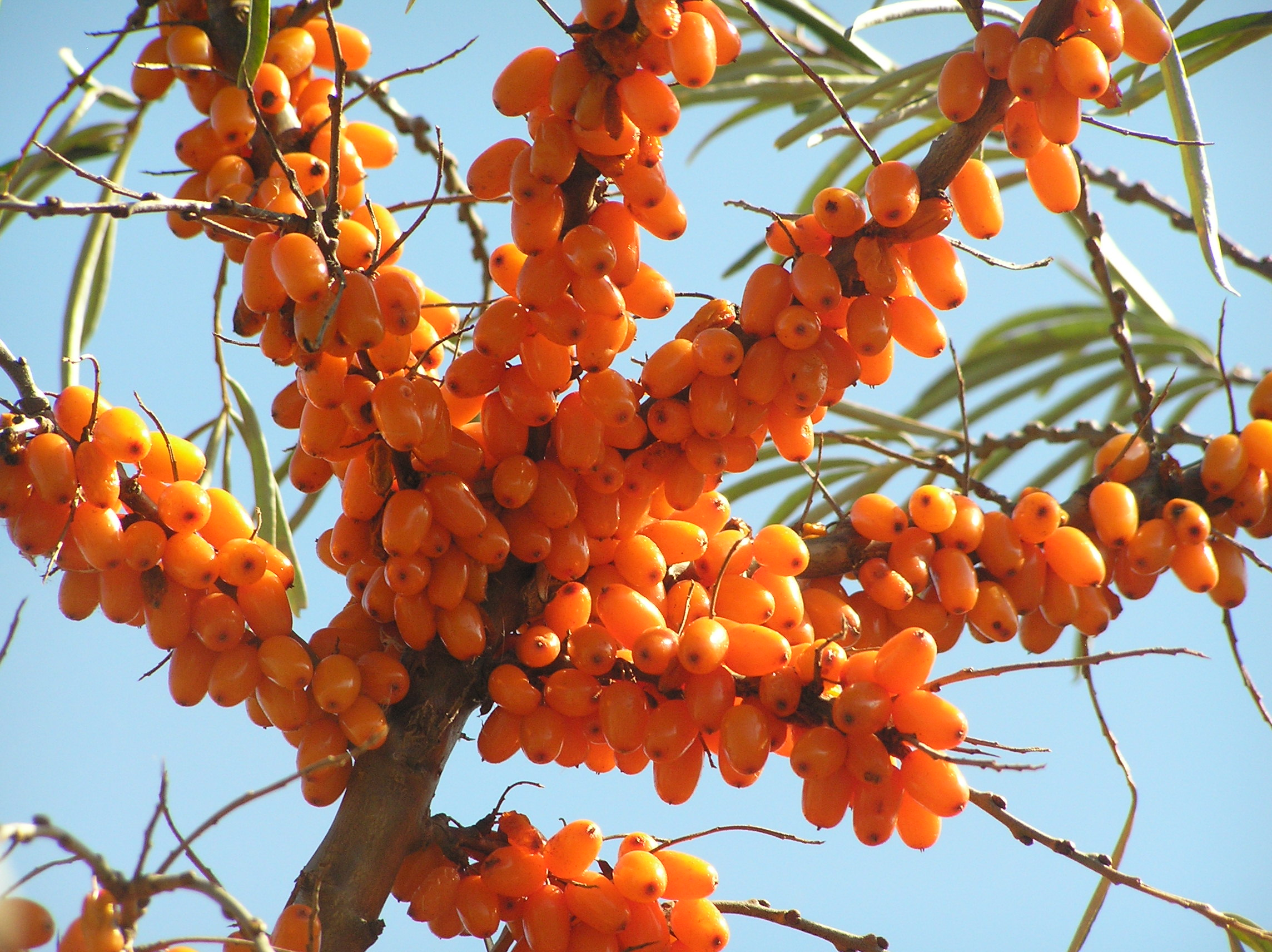 Click Here for sea buckthorn