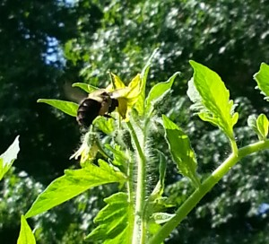 bumble bee in vegetable garden